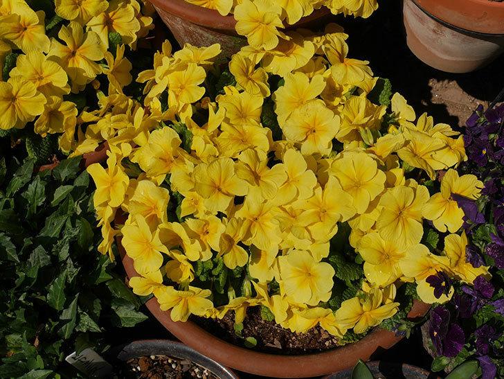黄色のプリムラ・ジュリアンの花がたくさん咲いた。2019年-4.jpg
