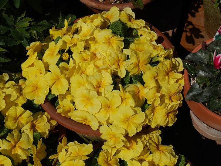 黄色のプリムラ・ジュリアンの花がたくさん咲いた。2019年-5.jpg