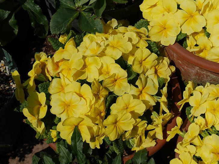 黄色のプリムラ・ジュリアンの花がたくさん咲いた。2019年-6.jpg