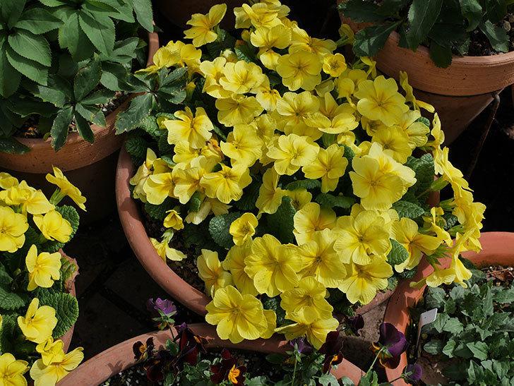 黄色のプリムラ・ジュリアンの花がたくさん咲いた。2020年-1.jpg
