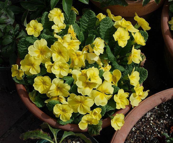 黄色のプリムラ・ジュリアンの花がたくさん咲いた。2020年-2.jpg
