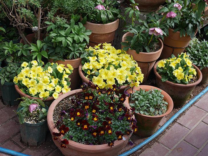 黄色のプリムラ・ジュリアンの花がたくさん咲いた。2020年-4.jpg