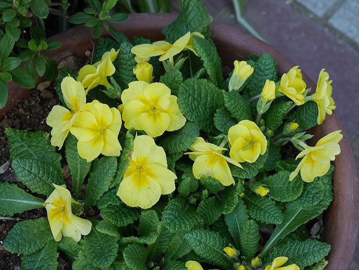 黄色のプリムラ・ジュリアンの花が咲いた。2021年-002.jpg
