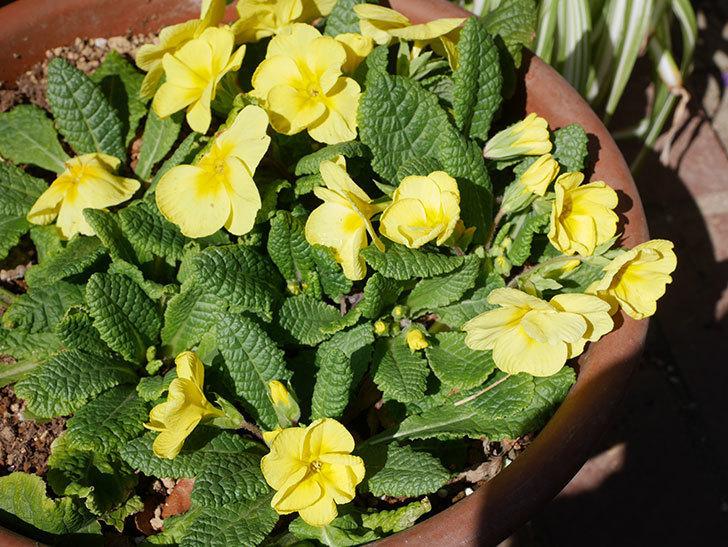 黄色のプリムラ・ジュリアンの花が咲いた。2021年-004.jpg