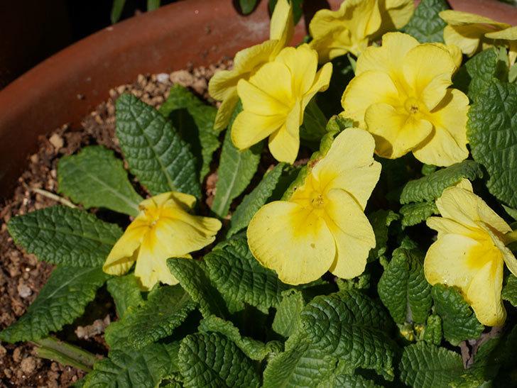 黄色のプリムラ・ジュリアンの花が咲いた。2021年-005.jpg