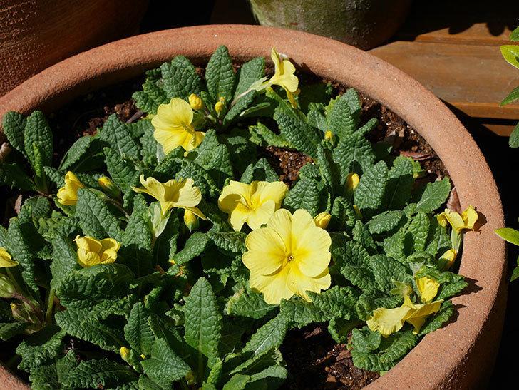 黄色のプリムラ・ジュリアンの花が咲いた。2021年-007.jpg