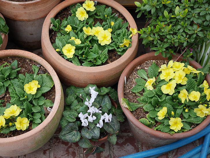 黄色のプリムラ・ジュリアンの花が咲いた。2021年-012.jpg