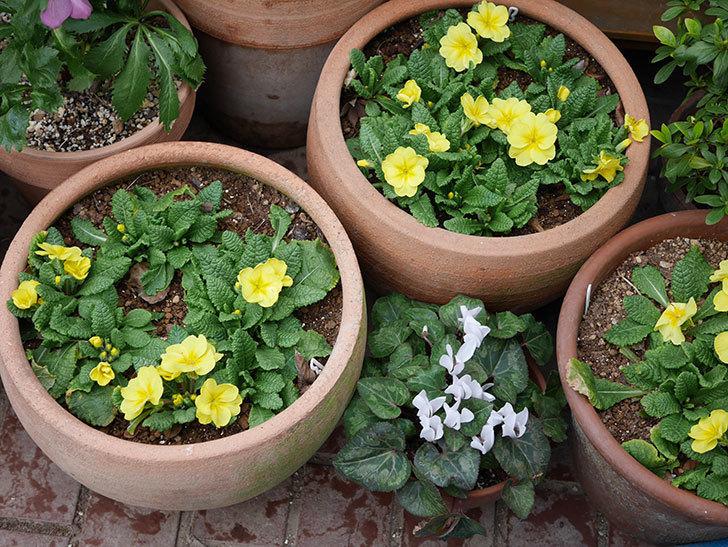 黄色のプリムラ・ジュリアンの花が咲いた。2021年-013.jpg