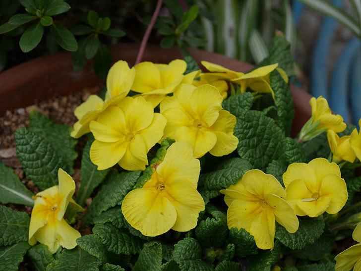 黄色のプリムラ・ジュリアンの花が咲いた。2021年-014.jpg