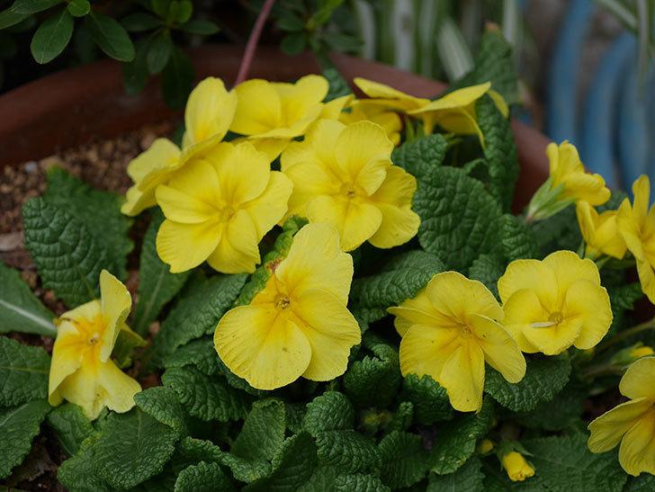 黄色のプリムラ・ジュリアンの花が咲いた。2021年-015.jpg