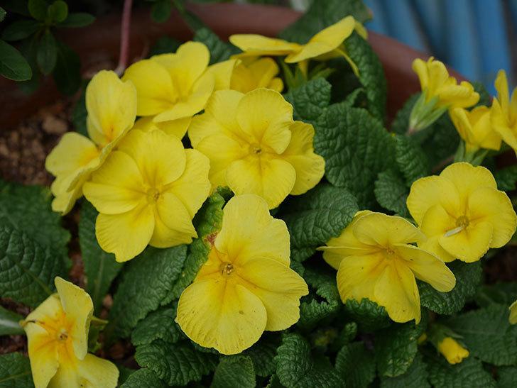 黄色のプリムラ・ジュリアンの花が咲いた。2021年-016.jpg
