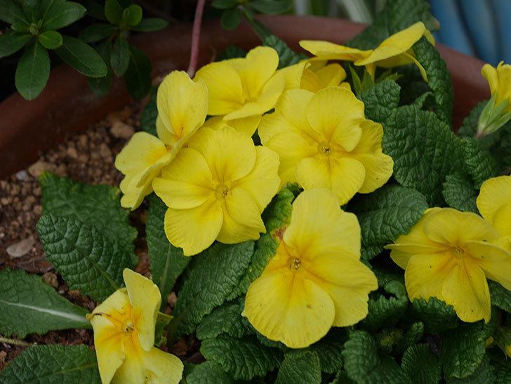 黄色のプリムラ・ジュリアンの花が咲いた。2021年-017.jpg