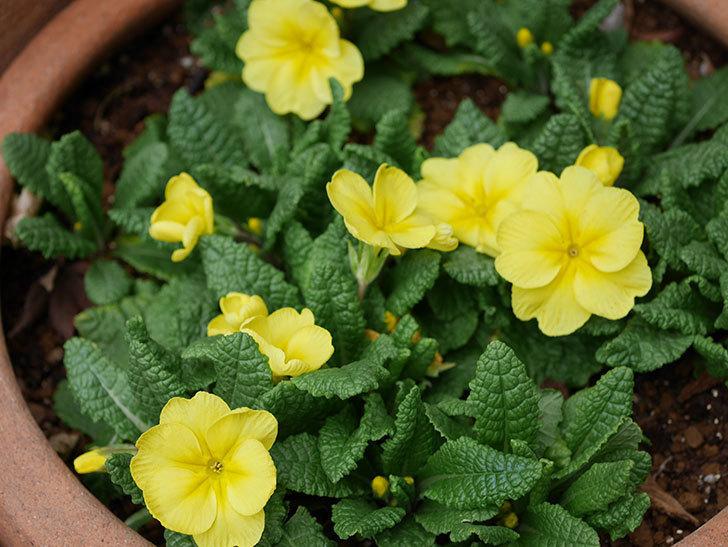 黄色のプリムラ・ジュリアンの花が咲いた。2021年-018.jpg
