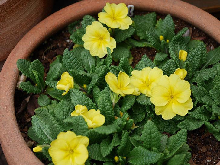黄色のプリムラ・ジュリアンの花が咲いた。2021年-019.jpg