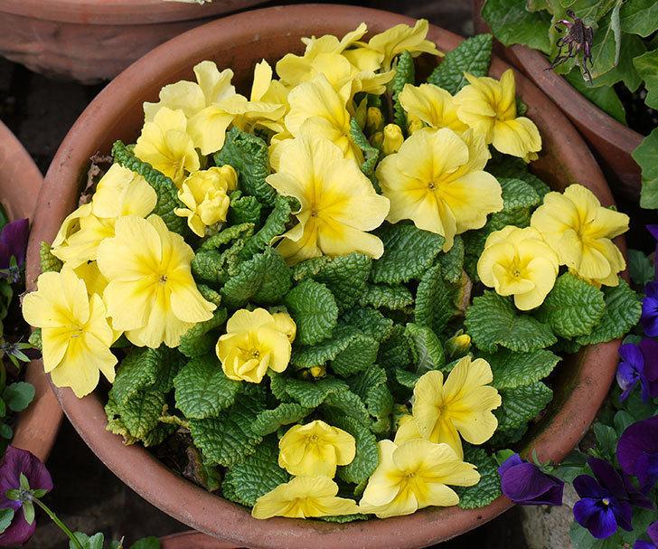 黄色のプリムラ・ジュリアンの花が増えてきた。2017年-1.jpg