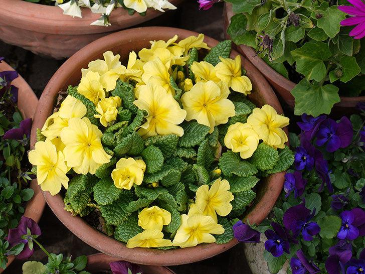 黄色のプリムラ・ジュリアンの花が増えてきた。2017年-2.jpg