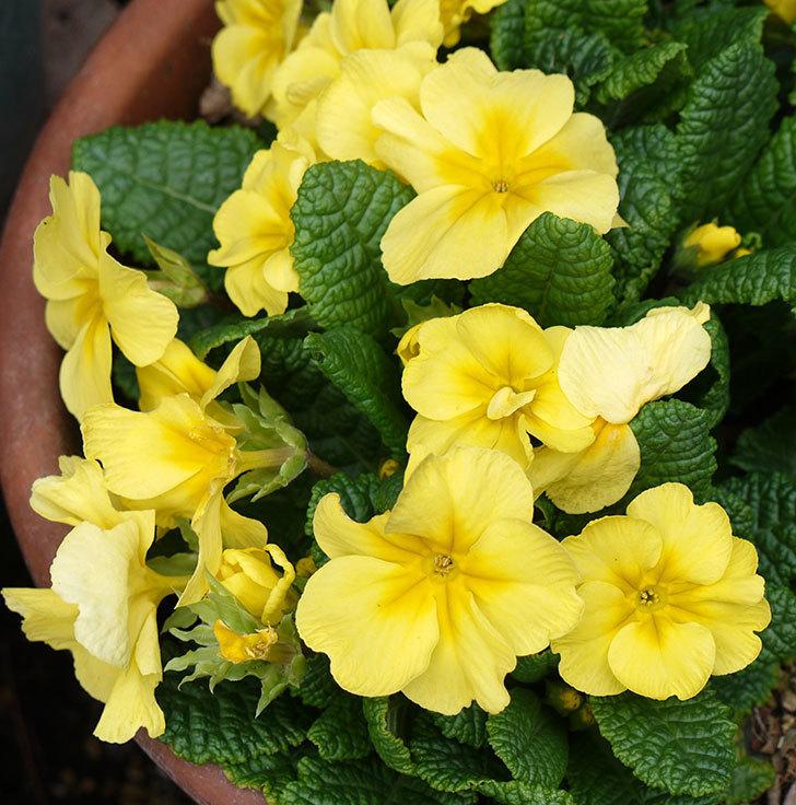 黄色のプリムラ・ジュリアンの花が増えてきた。2017年-6.jpg