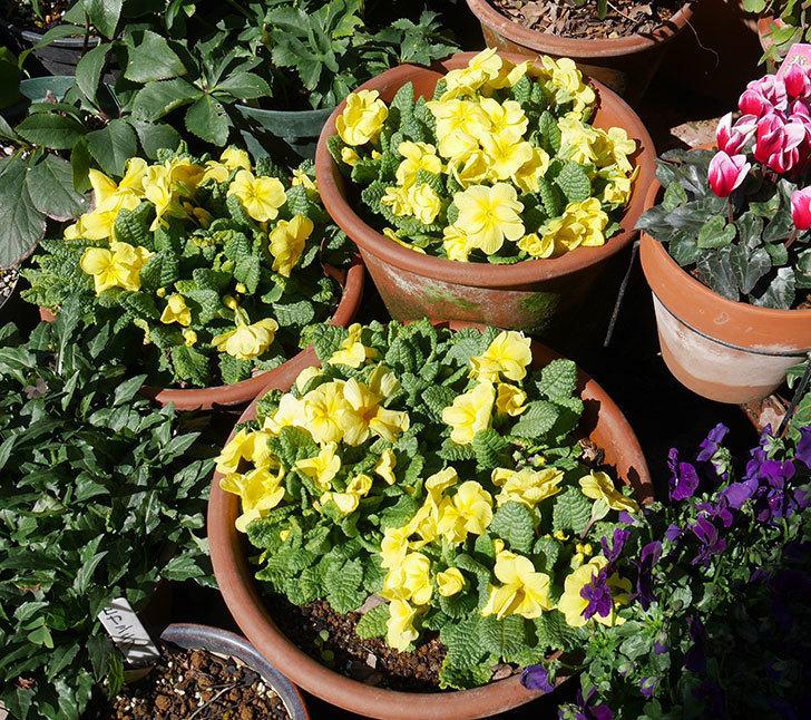 黄色のプリムラ・ジュリアンの花が増えて来た。2019年-1.jpg