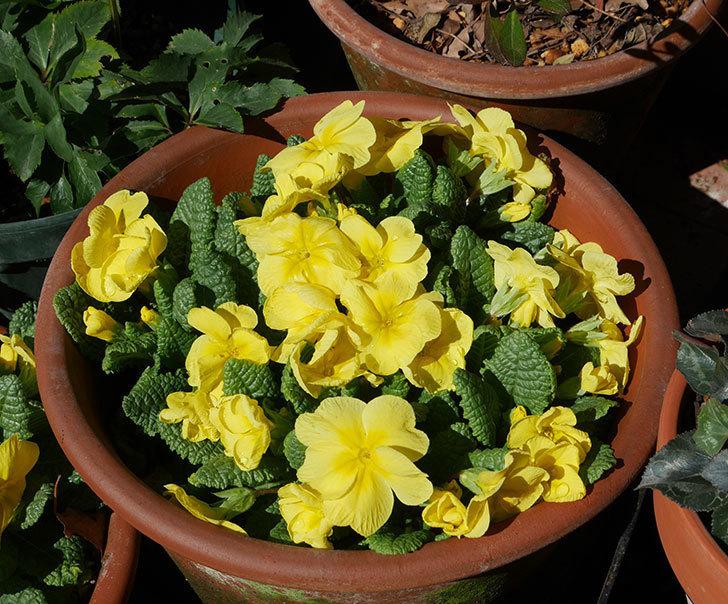 黄色のプリムラ・ジュリアンの花が増えて来た。2019年-2.jpg