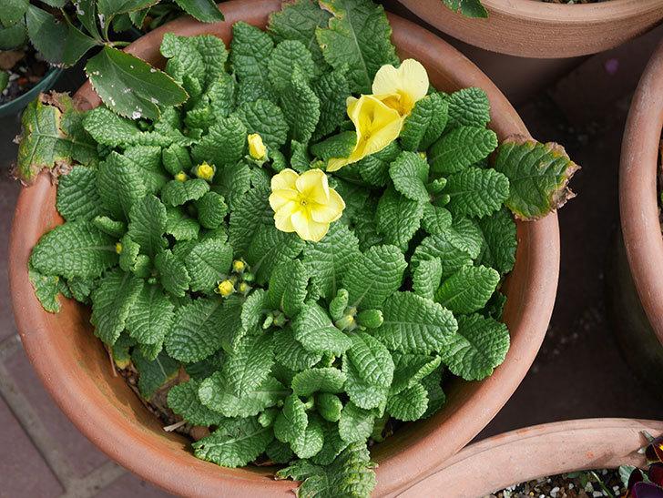 黄色のプリムラ・ジュリアンの花が増えて来た。2020年-2.jpg