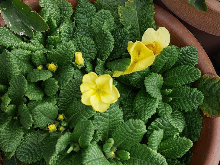 黄色のプリムラ・ジュリアンの花が増えて来た。2020年-3.jpg