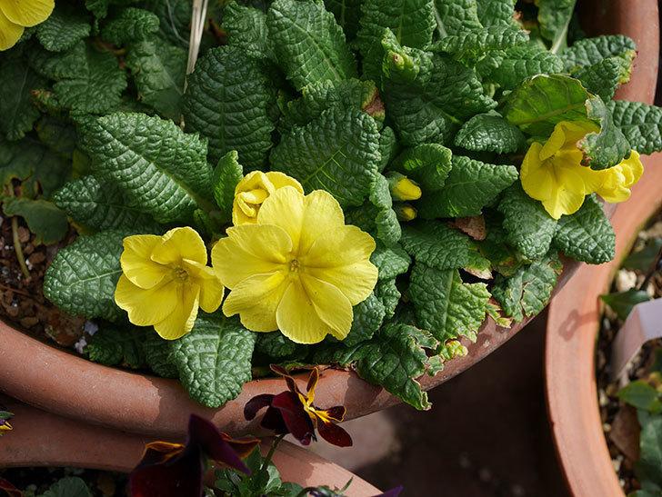 黄色のプリムラ・ジュリアンの花が増えて来た。2020年-4.jpg