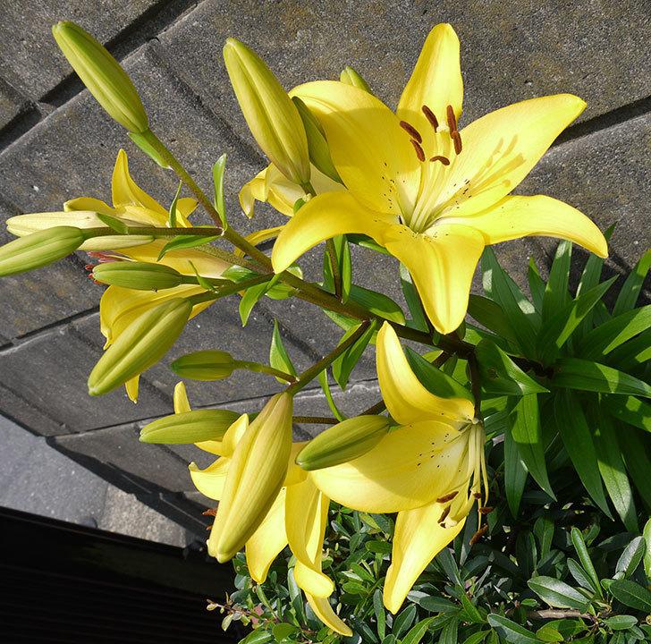 黄色のユリがさらに咲いた。2016年-5.jpg