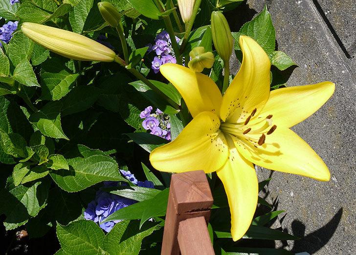 黄色のユリが咲いた。2015年-1.jpg