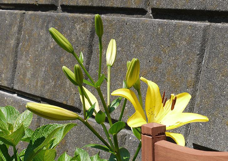 黄色のユリが咲いた。2015年-3.jpg