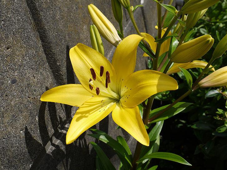 黄色のユリが咲いた。2016年-1.jpg