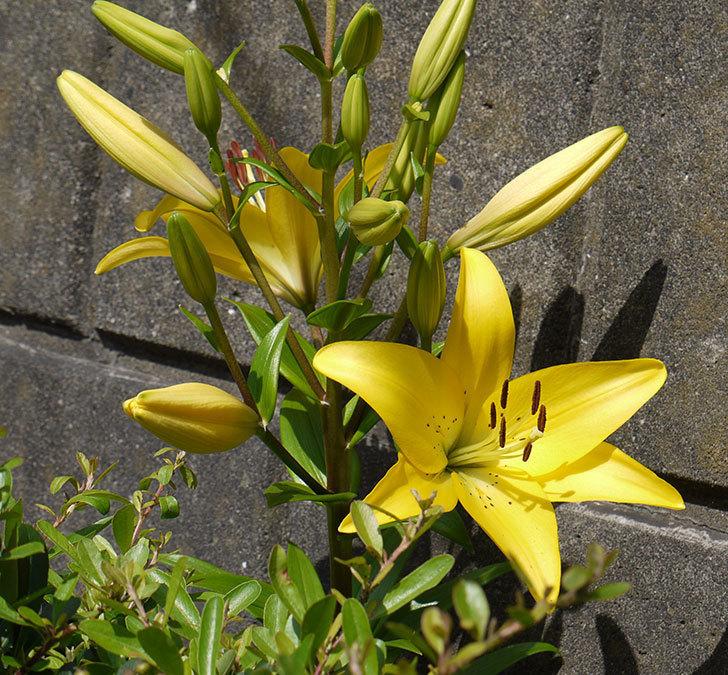 黄色のユリが咲いた。2016年-2.jpg