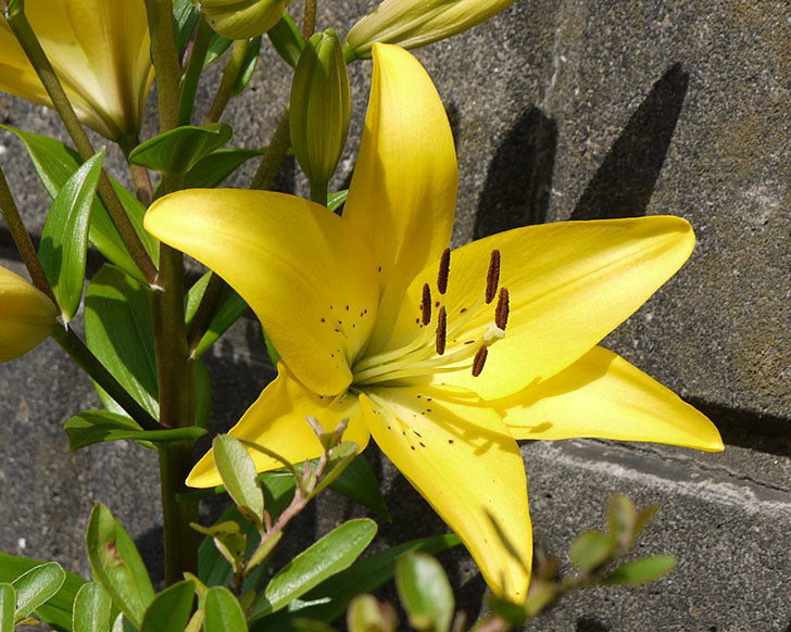 黄色のユリが咲いた。2016年-3.jpg
