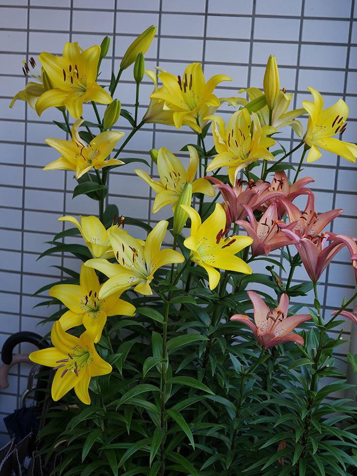黄色のユリの花がたくさん咲いた。2019年-1.jpg