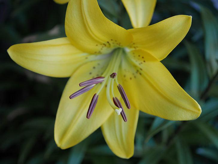黄色のユリの花がたくさん咲いた。2019年-7.jpg