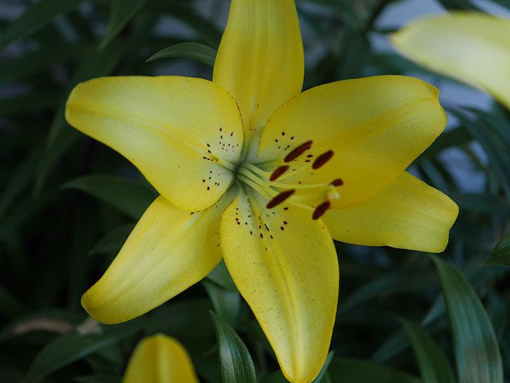 黄色のユリの花がたくさん咲いた。2019年-8.jpg