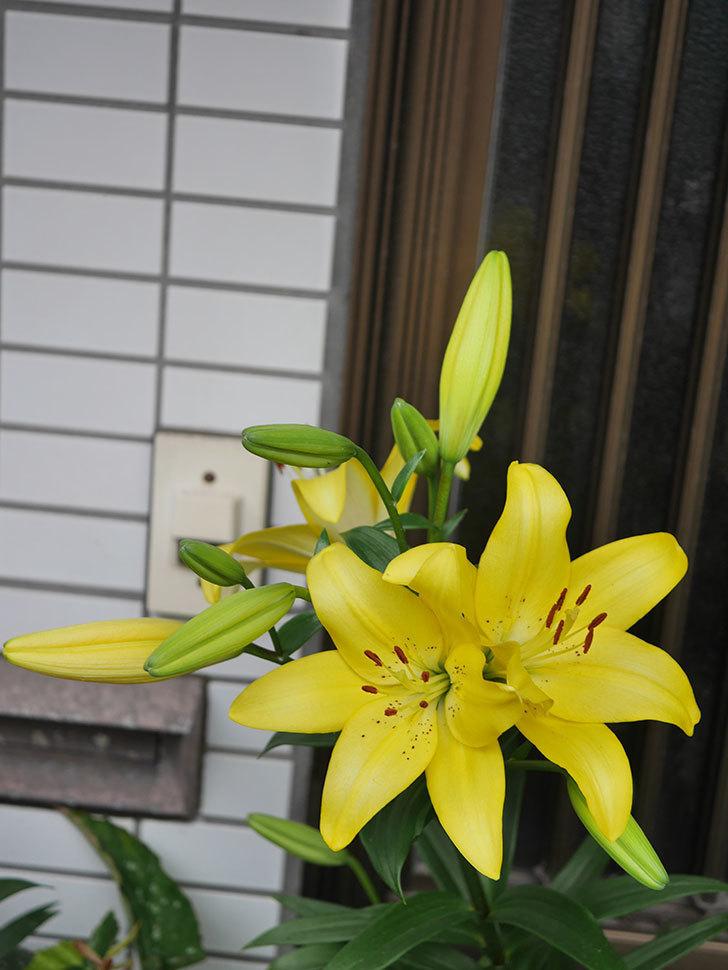 黄色のユリの花がたくさん咲いた。2020年-001.jpg