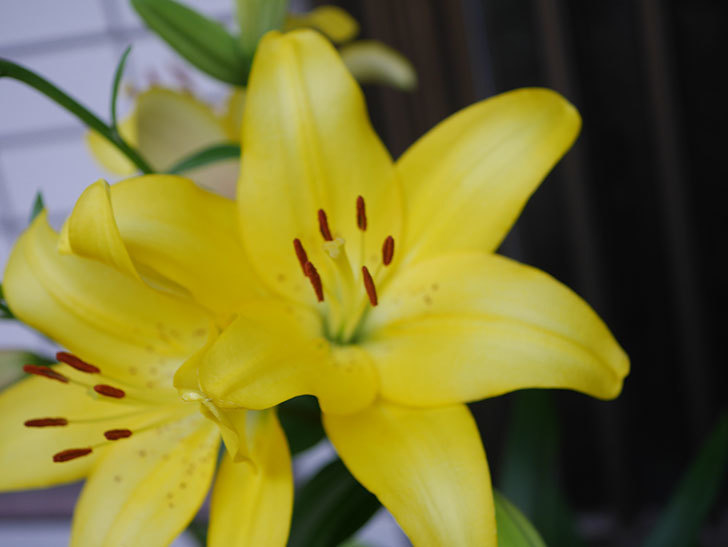 黄色のユリの花がたくさん咲いた。2020年-003.jpg