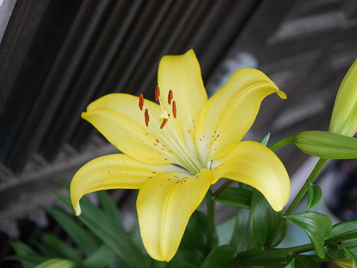 黄色のユリの花がたくさん咲いた。2020年-004.jpg