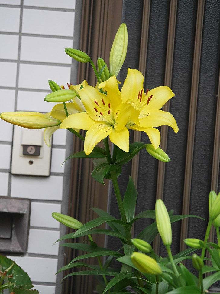 黄色のユリの花がたくさん咲いた。2020年-005.jpg