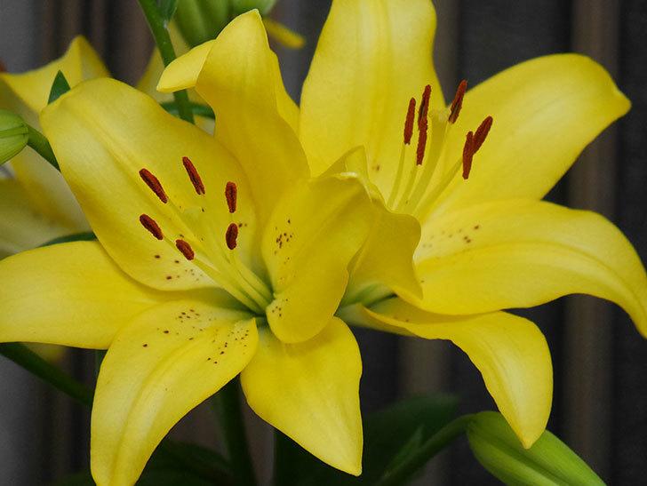 黄色のユリの花がたくさん咲いた。2020年-006.jpg