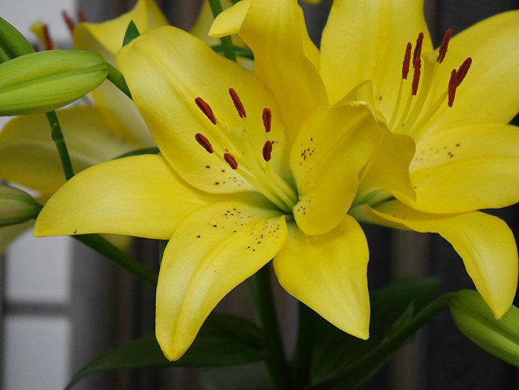 黄色のユリの花がたくさん咲いた。2020年-007.jpg