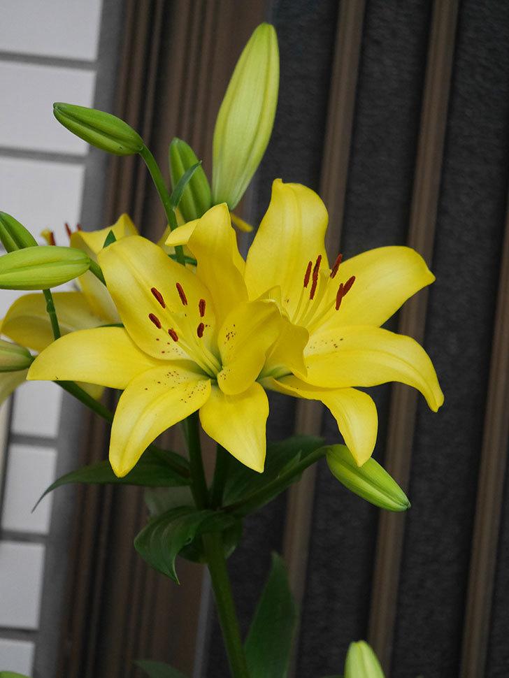黄色のユリの花がたくさん咲いた。2020年-009.jpg