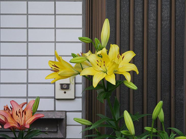 黄色のユリの花がたくさん咲いた。2020年-010.jpg