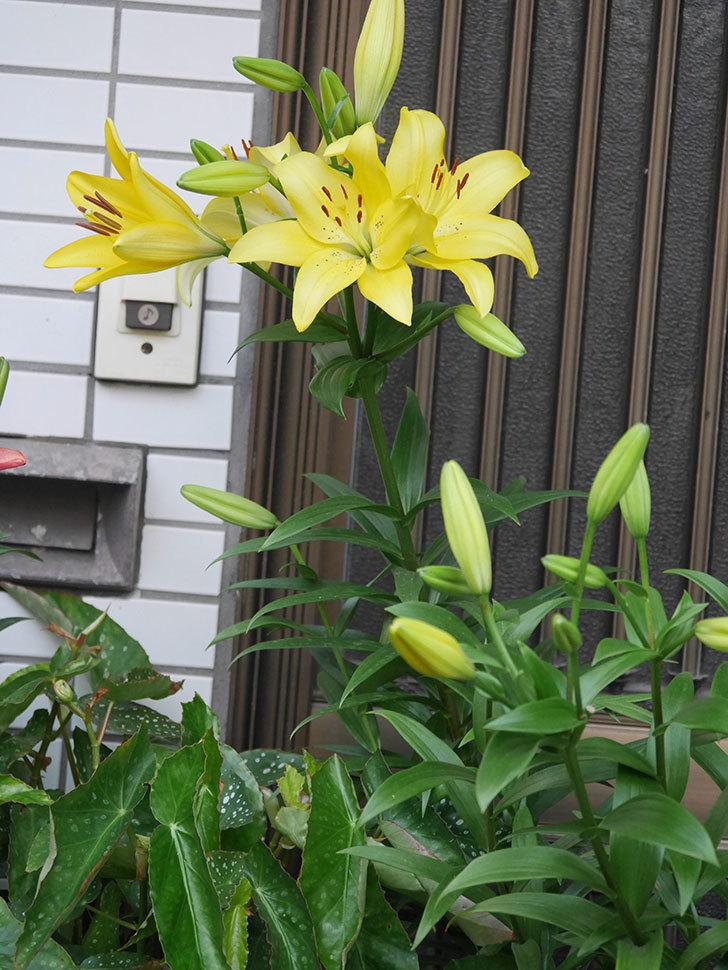 黄色のユリの花がたくさん咲いた。2020年-011.jpg