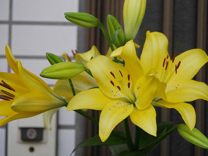 黄色のユリの花がたくさん咲いた。2020年-012.jpg