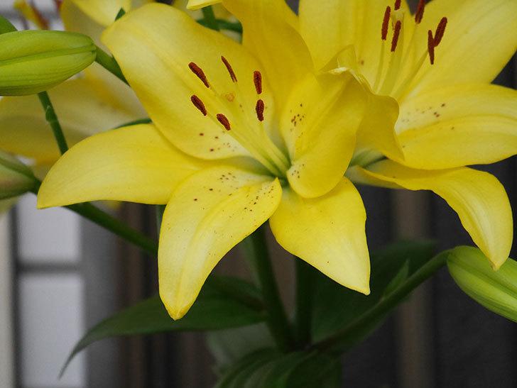 黄色のユリの花がたくさん咲いた。2020年-013.jpg