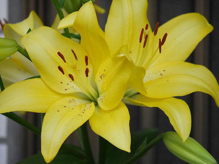 黄色のユリの花がたくさん咲いた。2020年-014.jpg