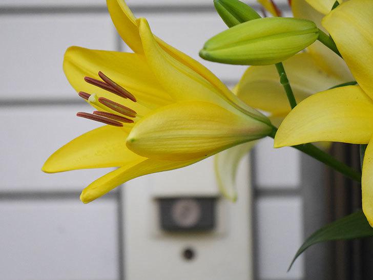 黄色のユリの花がたくさん咲いた。2020年-015.jpg