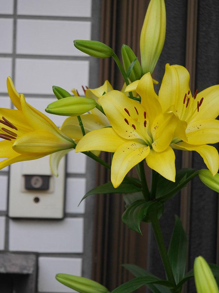 黄色のユリの花がたくさん咲いた。2020年-016.jpg