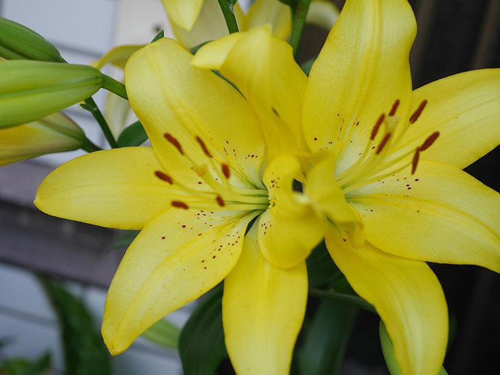 黄色のユリの花がたくさん咲いた。2020年-019.jpg